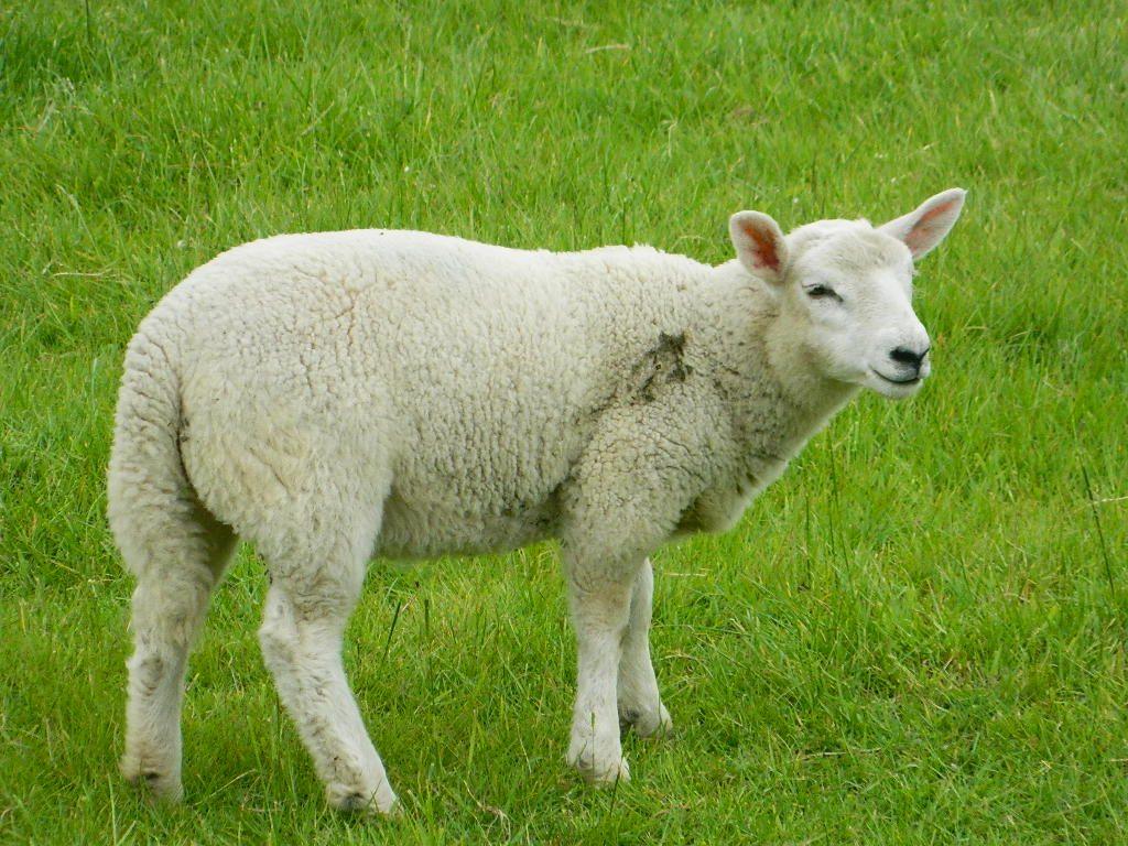 Captains sheep